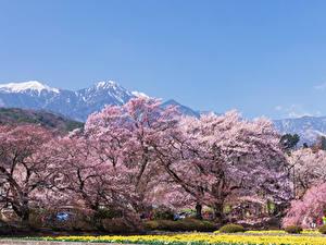 Fotos Japan Park Frühling Blühende Bäume Hokuto Yamanashi Prefecture Natur
