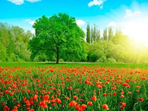 Hintergrundbilder Mohn Sommer Grünland Bäume Natur