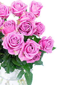 Hintergrundbilder Rosen Hautnah Weißer hintergrund Rosa Farbe Blüte