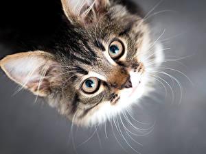 Bilder Katze Augen Grauer Hintergrund Schnauze Blick Tiere