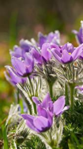 Hintergrundbilder Kuhschellen Großansicht Violett Blumen