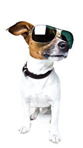Fonds d'écran Chiens Fond blanc Jack Russell Terrier Lunettes Animaux