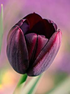 Bilder Makro Tulpen Hautnah Dunkelrote Blumen