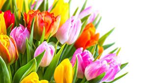 Fotos Tulpen Hautnah Weißer hintergrund Blüte