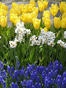 Bilder Niederlande Park Tulpen Narzissen Hyazinthen Keukenhof Blumen