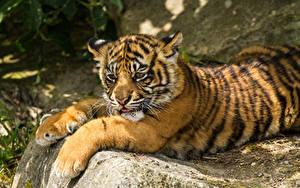 Fotos Tiger Jungtiere Sumatra-Tiger Pfote Tiere