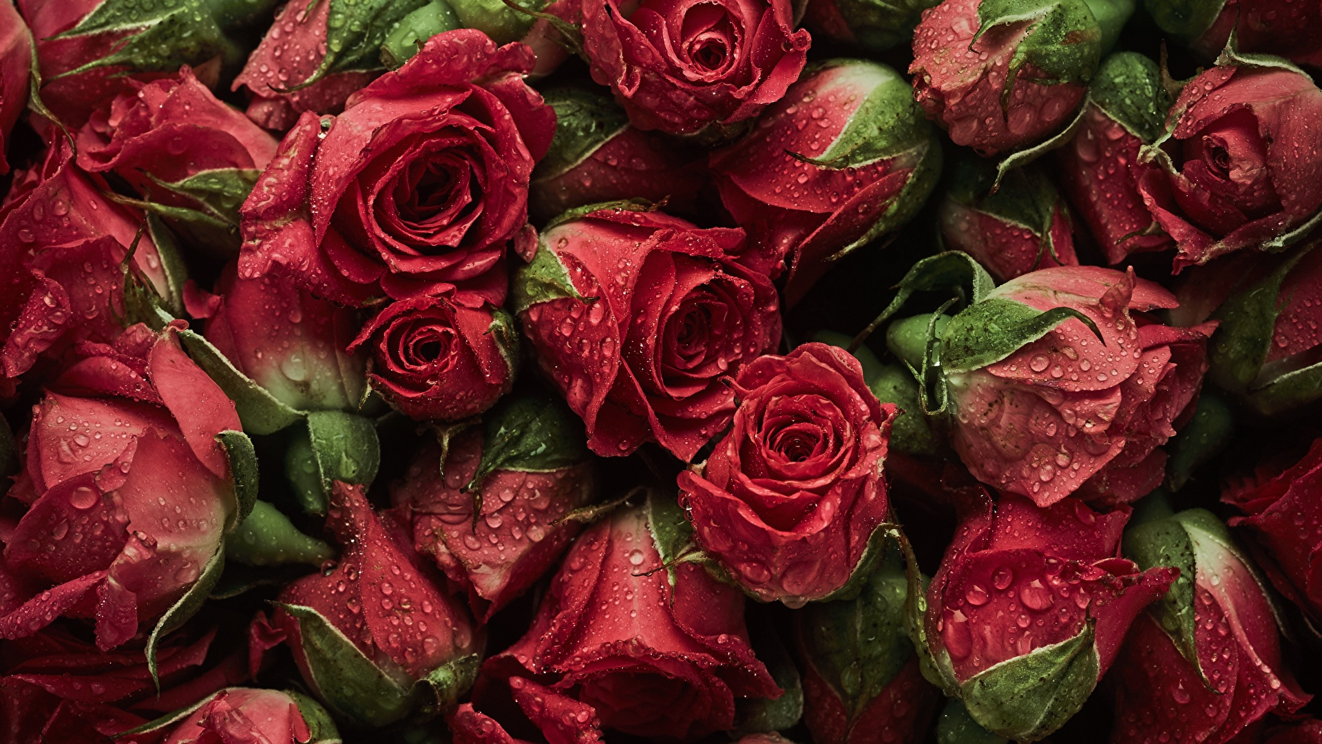 Wallpaper Texture Red Roses Drops Flowers Many 1920x1080