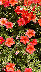 Hintergrundbilder Calibrachoa Großansicht Rot Blumen