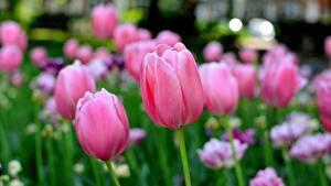 Hintergrundbilder Tulpen Unscharfer Hintergrund Rosa Farbe Blüte