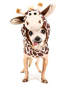 Hintergrundbilder Hund Kängurus Bekleidung Weißer hintergrund Chihuahua Uniform ein Tier