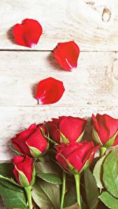 Hintergrundbilder Rose Hautnah Bretter Rot Blütenblätter Blumen
