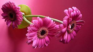 Fotos Gerbera Großansicht Rosa Farbe Drei 3 Rosa Hintergrund