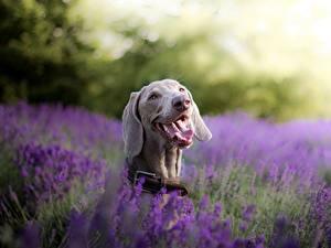 Bilder Hund Lavendel Zunge Kopf Weimaraner ein Tier