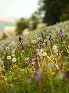 Hintergrundbilder Grünland Taraxacum Unscharfer Hintergrund
