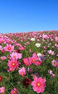 Bilder Kosmeen Grünland Viel Blüte