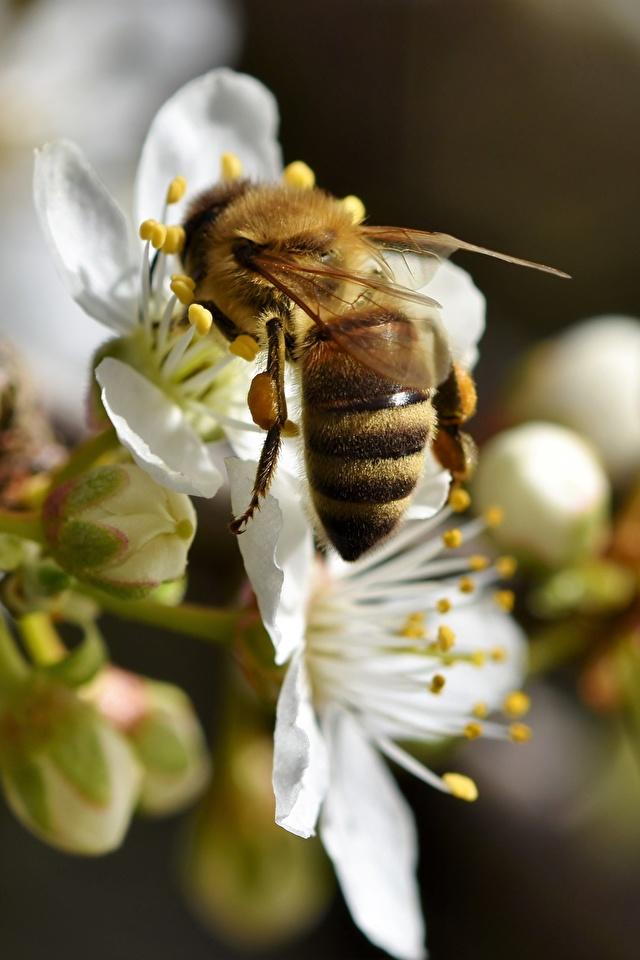 Foto Bienen Insekten Bokeh ein Tier Nahaufnahme 640x960 für Handy unscharfer Hintergrund Tiere hautnah Großansicht