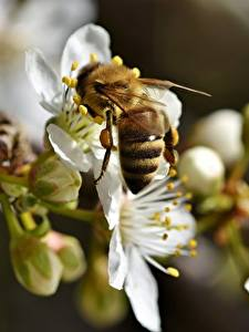Fotos Nahaufnahme Bienen Insekten Bokeh Tiere