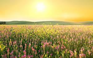Hintergrundbilder Acker Lavendel Lupinen Sonne