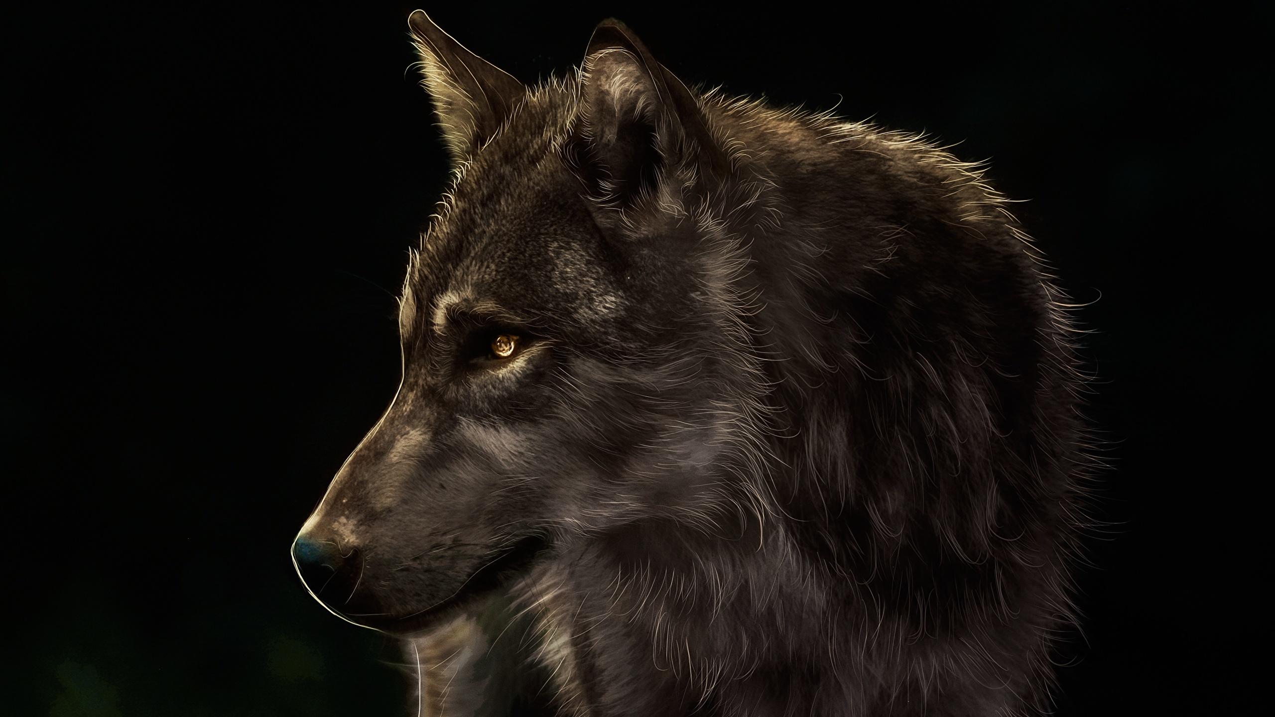 Fonds d'ecran 2560x1440 Loup Dessiné Tête Fond noir Animaux télécharger photo