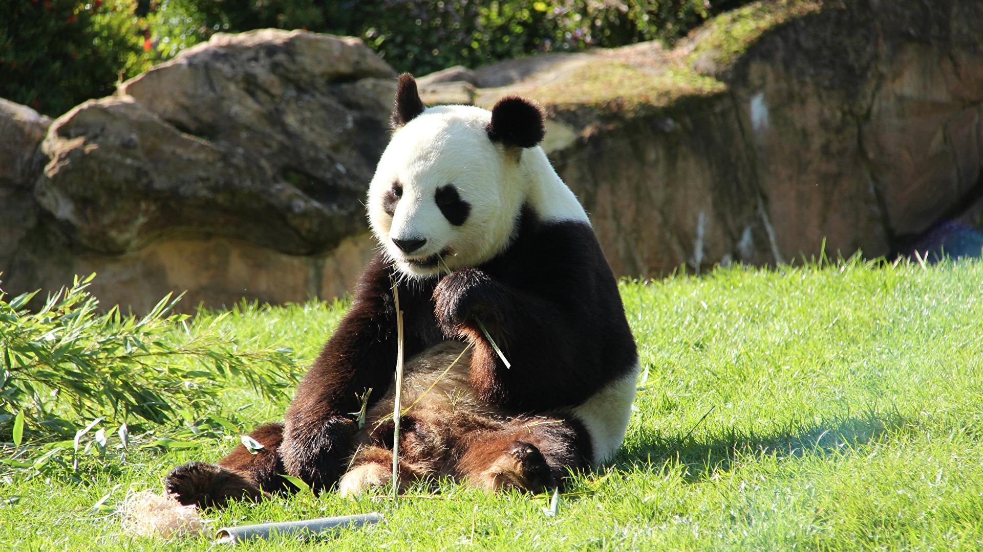 Bilder von Pandas Bären Gras Sitzend Tiere 1920x1080 Großer Panda sitzt sitzen ein Tier