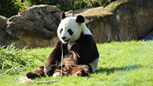 Photo Bears Giant panda Sitting Grass Animals