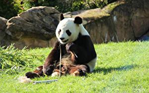 Fotos Bären Großer Panda Sitzend Gras Tiere