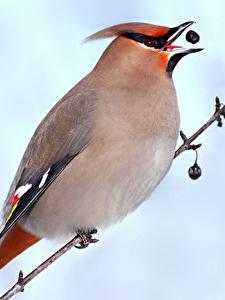 Hintergrundbilder Vögel Großansicht Ast Bohemian waxwing Tiere