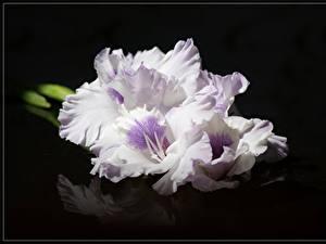 Fotos Schwertblume Großansicht Schwarzer Hintergrund Weiß Blumen