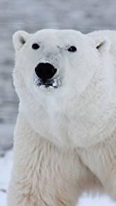Bilder Hautnah Bären Eisbär Schnauze Starren Tiere