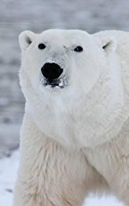 Bilder Großansicht Bären Eisbär Schnauze Starren Tiere