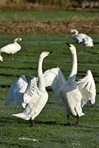 Bilder Grünland Vögel Gänse Gras Schlägerei ein Tier