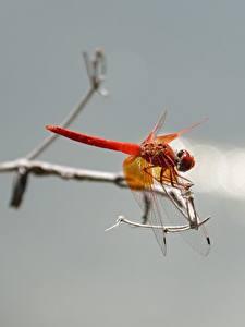 Hintergrundbilder Insekten Libellen Nahaufnahme ein Tier