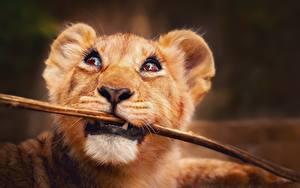 Fotos Löwe Jungtiere Starren Ast Schnauze Tiere