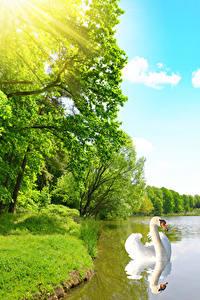 Hintergrundbilder Teich Schwäne Bäume Lichtstrahl