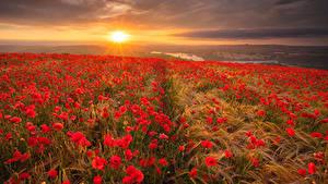 Bilder Landschaftsfotografie Acker Mohn Sonnenaufgänge und Sonnenuntergänge Ähre Natur Blumen