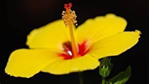 Bilder Hibiskus Großansicht Schwarzer Hintergrund Gelb Blüte