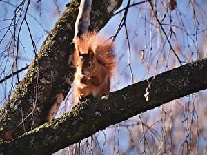 Bilder Eichhörnchen Nagetiere Ast Tiere