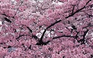 Fotos Blühende Bäume Ast Rosa Farbe Blumen