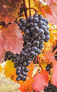 Bilder Weintraube Blattwerk Lebensmittel