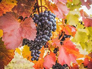 Bilder Weintraube Blattwerk