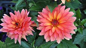 Fotos Georginen Großansicht Zwei Rosa Farbe Blumen