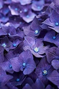 Hintergrundbilder Hortensien Makro Nahaufnahme Violett Blüte