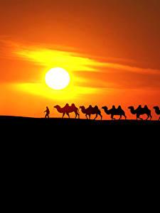 Bilder Sonnenaufgänge und Sonnenuntergänge Wüste Altweltkamele Sonne Silhouette Natur