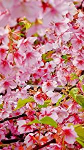 Pictures Flowering trees Closeup Branches Cherry blossom flower
