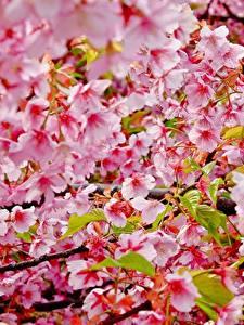 Hintergrundbilder Blühende Bäume Hautnah Ast Japanische Kirschblüte Blüte