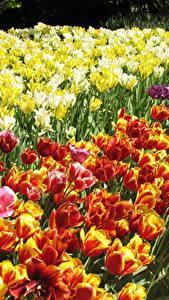 Bilder Tulpen Viel Hautnah Blüte