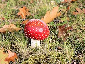 Fotos Pilze Natur Wulstlinge Gras Rot