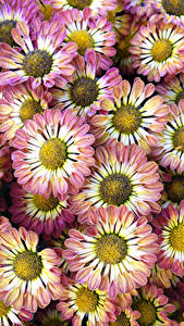 Hintergrundbilder Chrysanthemen Nahaufnahme Blüte