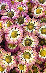 Hintergrundbilder Chrysanthemen Großansicht Blumen