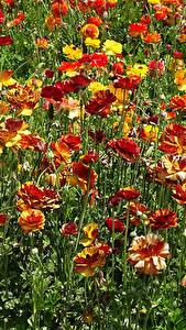 Hintergrundbilder Ranunkel Viel Blüte